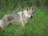 divina-femmina-di-lupo-cecoslovacco-4