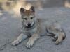 divina-femmina-di-lupo-cecoslovacco-da-cucciola