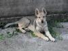 edilweiss-femmina-cane-lupo-cecoslovacco-1