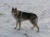 edilweiss-femmina-cane-lupo-cecoslovacco-18