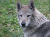 edilweiss-femmina-cane-lupo-cecoslovacco-5