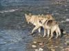 edilweiss-femmina-cane-lupo-cecoslovacco-7