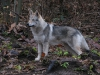 edilweiss-femmina-cane-lupo-cecoslovacco-9