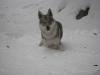 Ishtar - femmina di lupo cecoslovacco