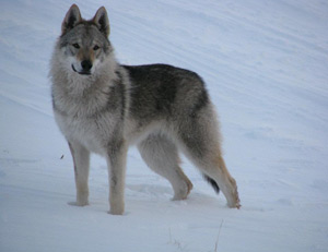 edi-cane-lupo-cecoslovacco